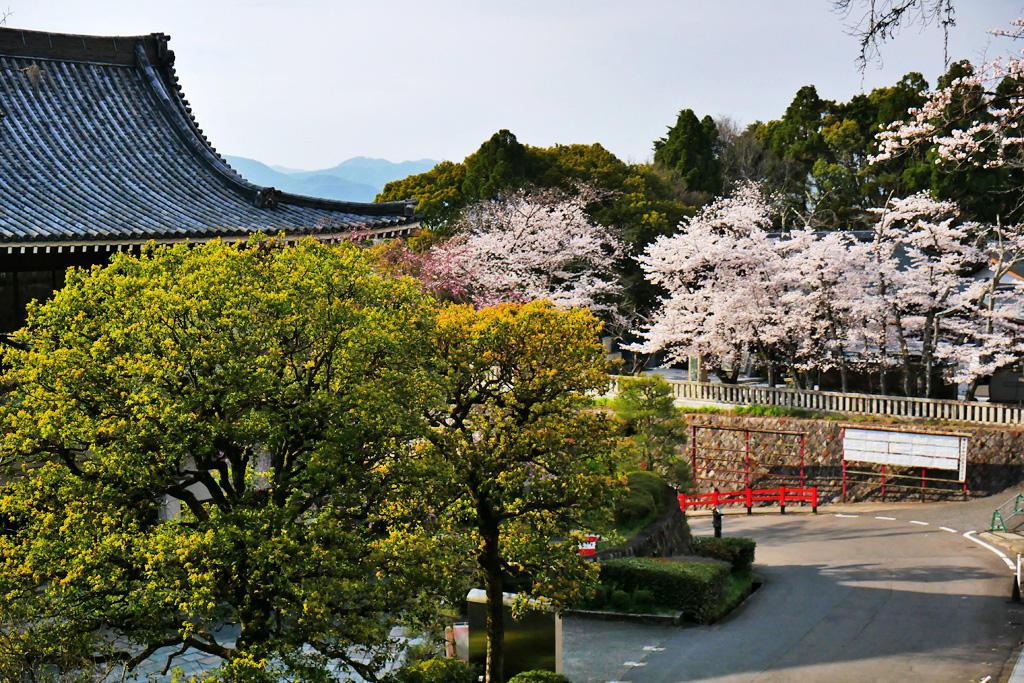 京都霊山護国神社の桜の写真素材