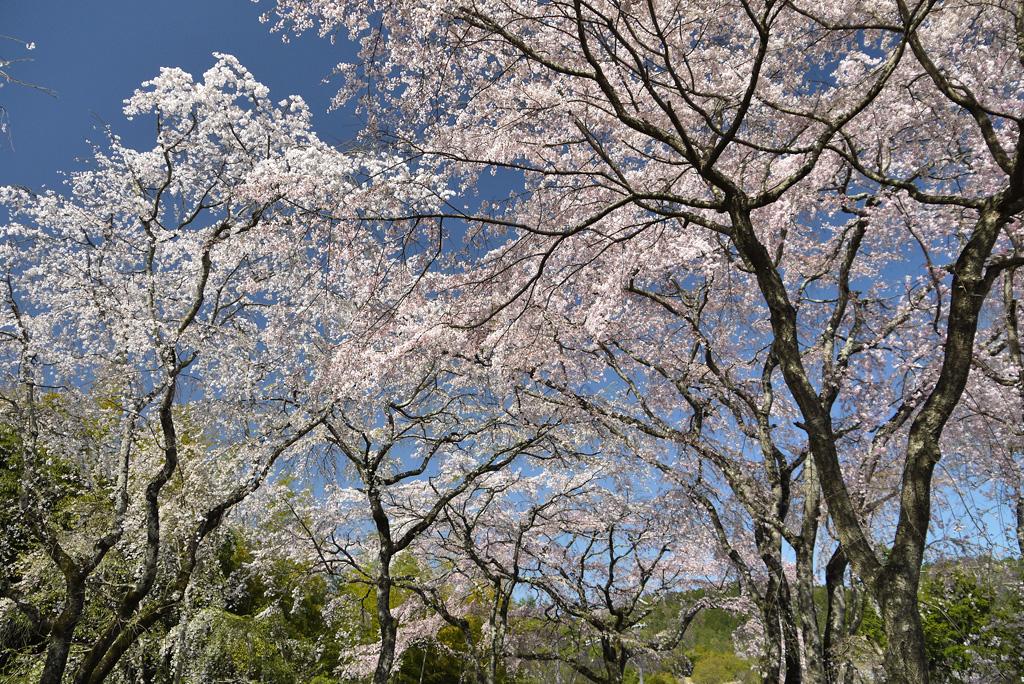 佐野藤右衛門邸の桜の写真素材