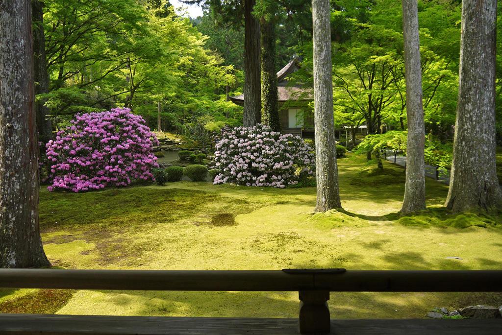 三千院の石楠花の写真素材