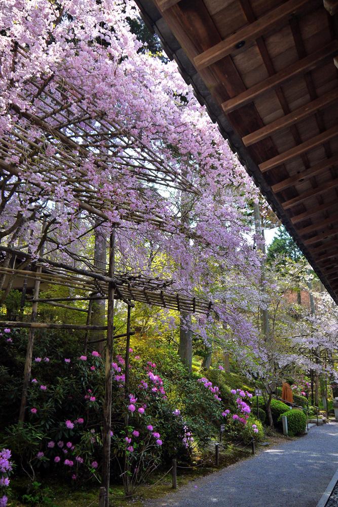 三千院の石楠花&桜