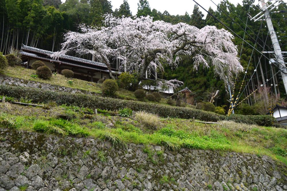 和束町湯船の西願寺の桜の写真素材