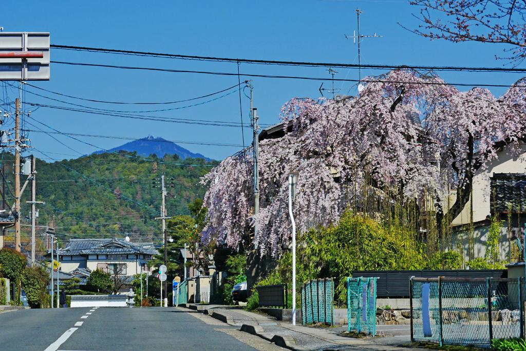 清涼寺から桜越しに見る比叡山の写真素材