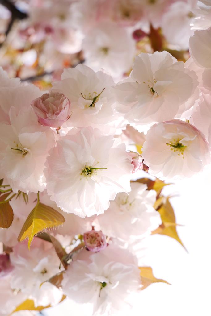 千本ゑんま堂の桜の写真素材