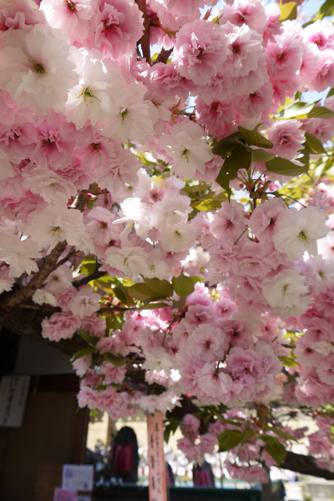 千本ゑんま堂普賢象桜の写真素材