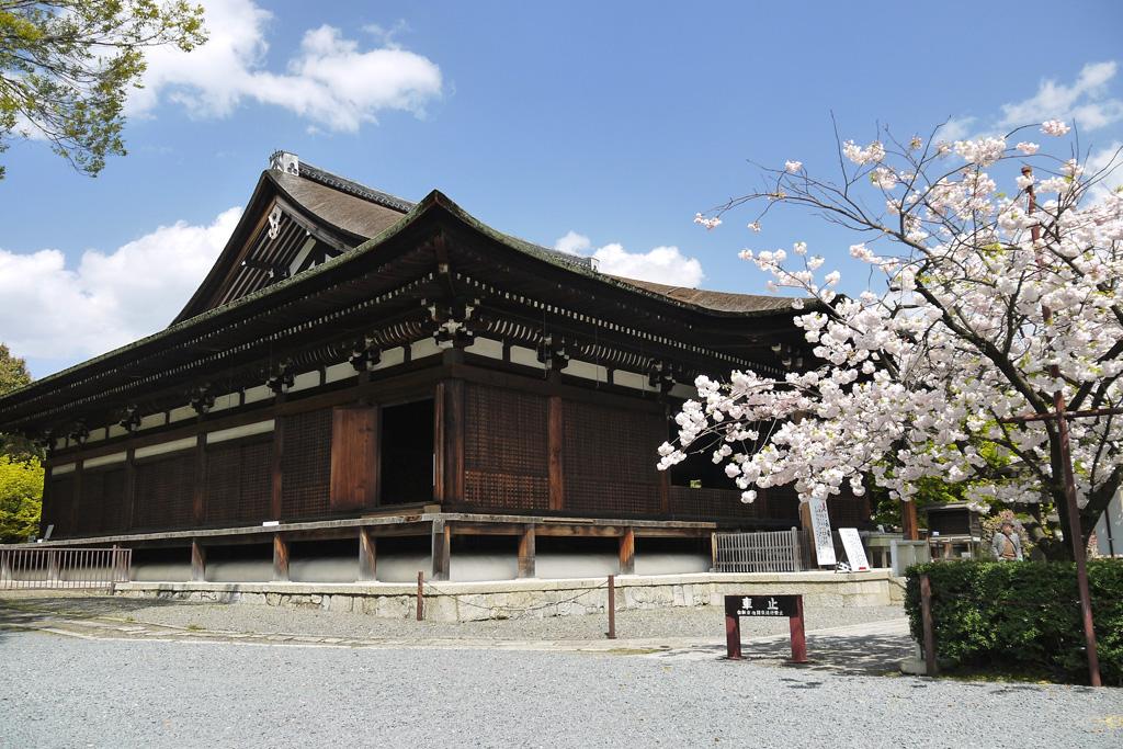京都 千本釈迦堂桜 国宝の写真素材