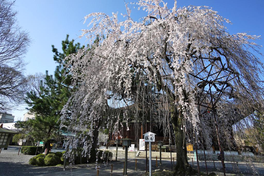 千本釈迦堂の桜の写真素材