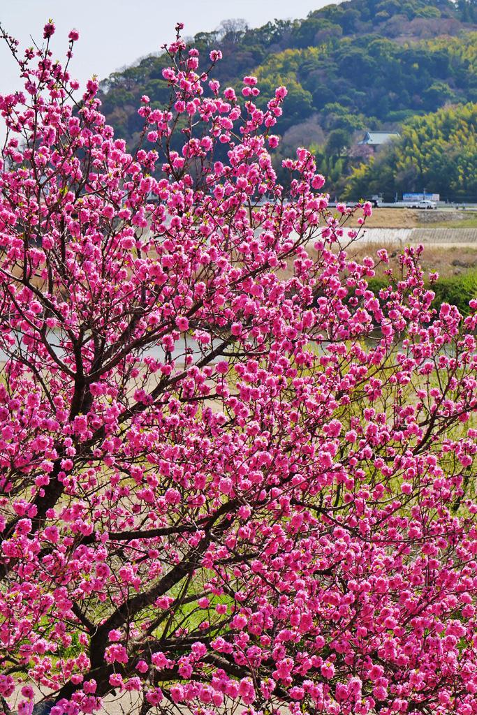 背割堤のハナモモ 写真素材