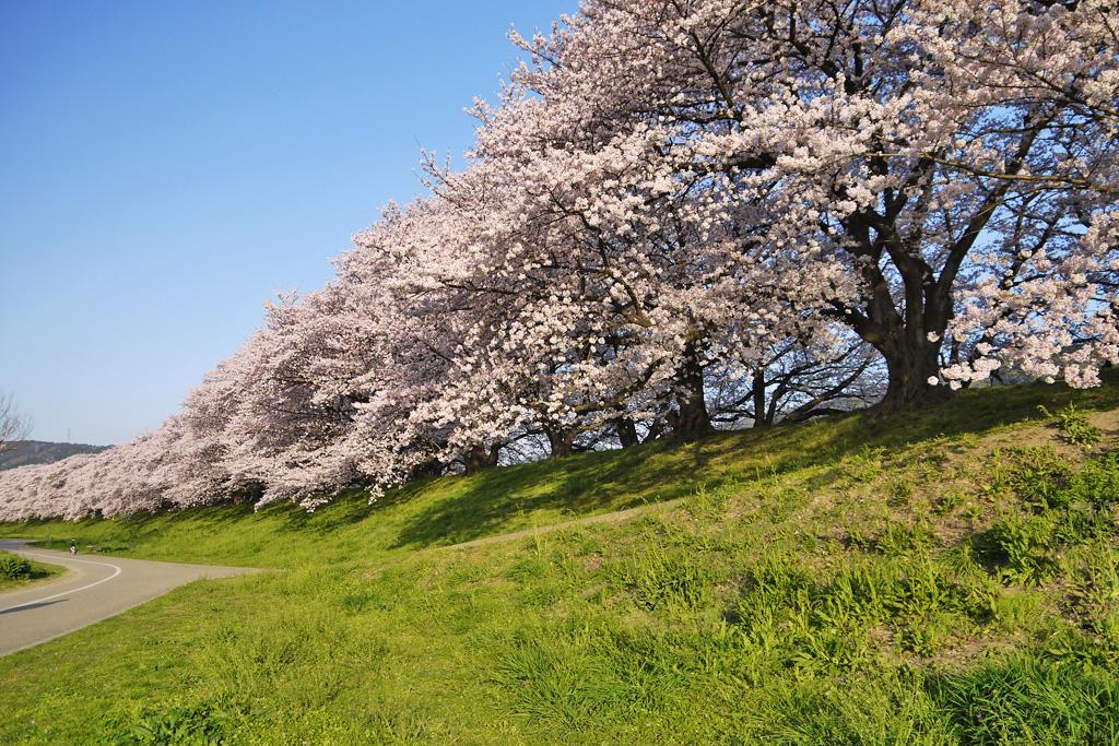 背割堤の桜の写真素材