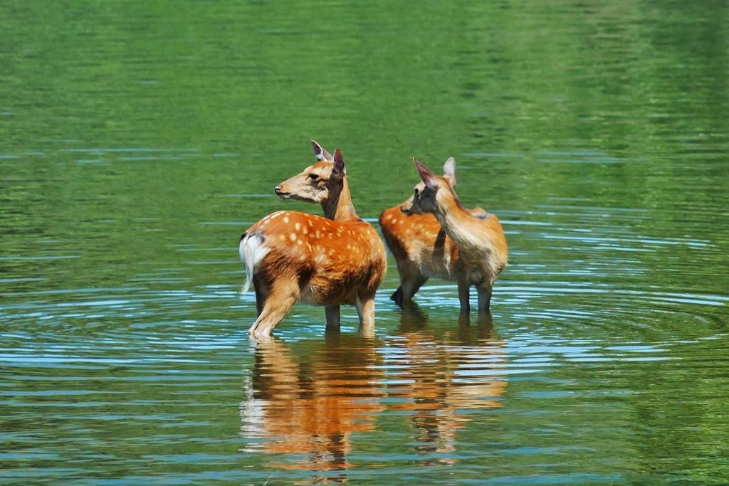 京都の鹿の写真素材