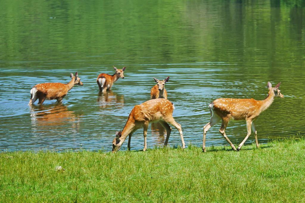 宝ヶ池の鹿 写真素材