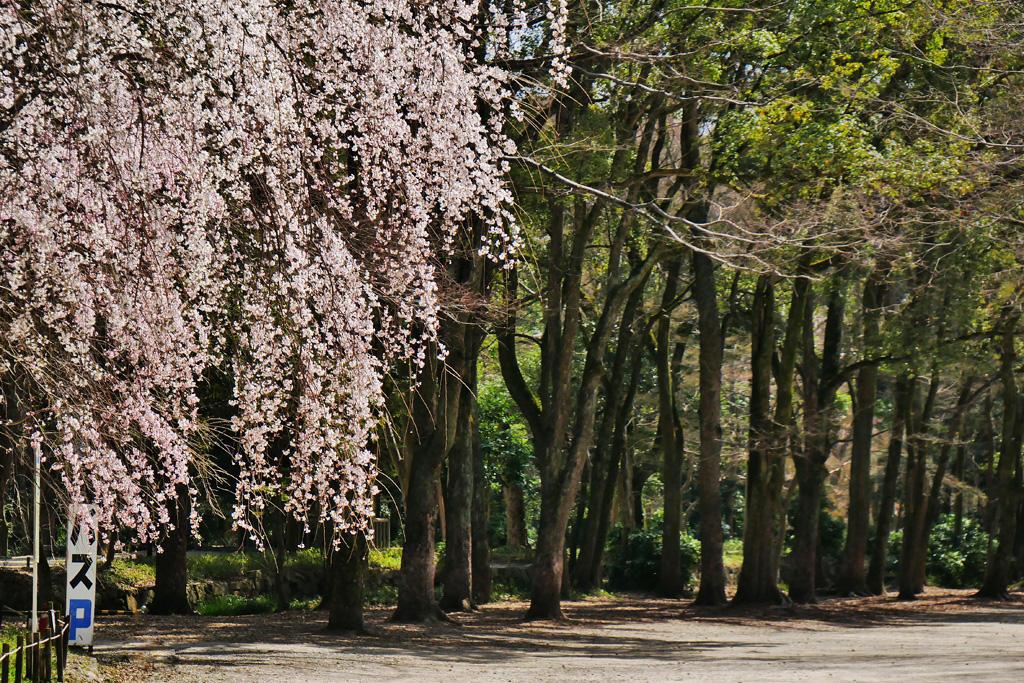 下鴨神社 枝垂れ桜の写真素材