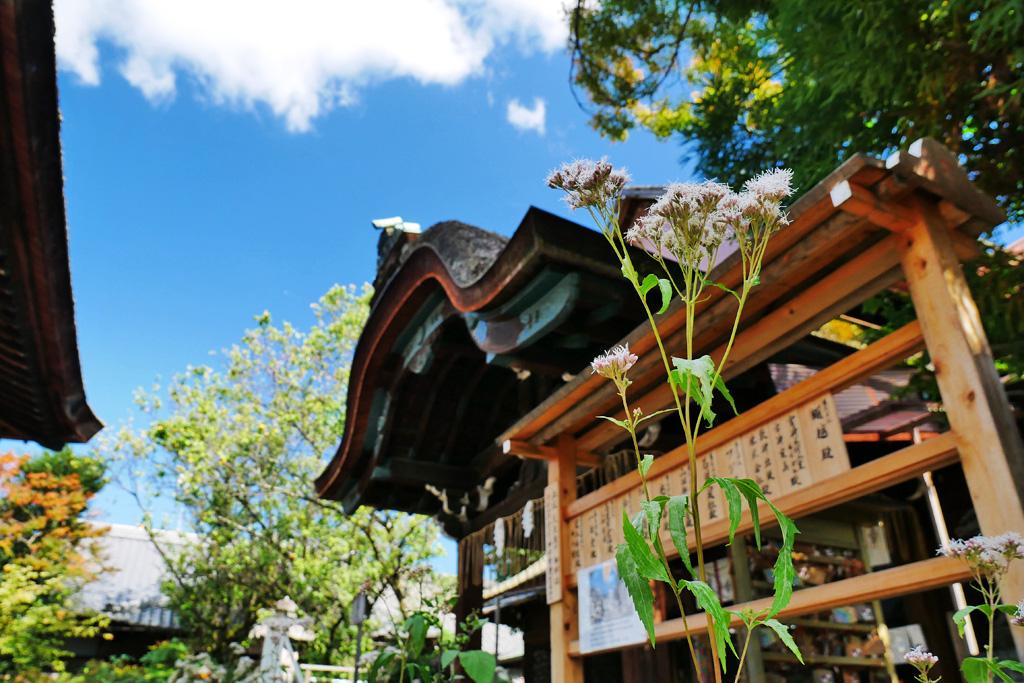 下御霊神社の藤袴の写真素材