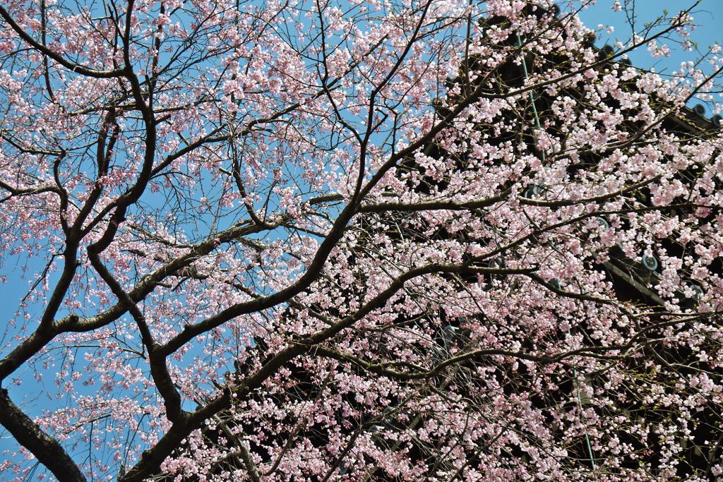 真如堂の桜の写真素材