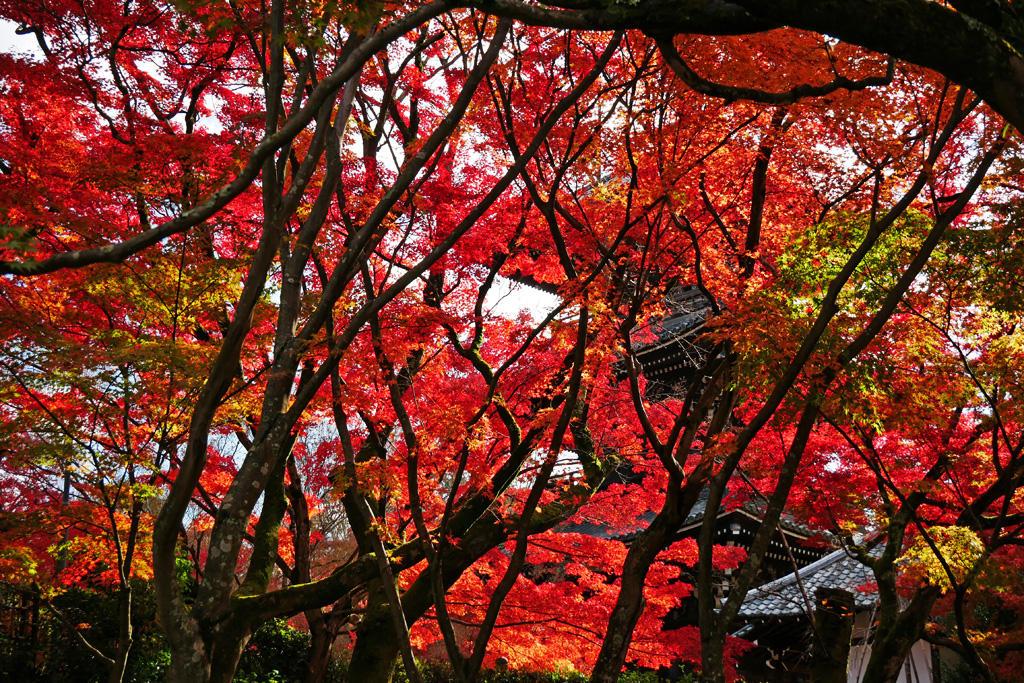 真如堂の紅葉の写真素材