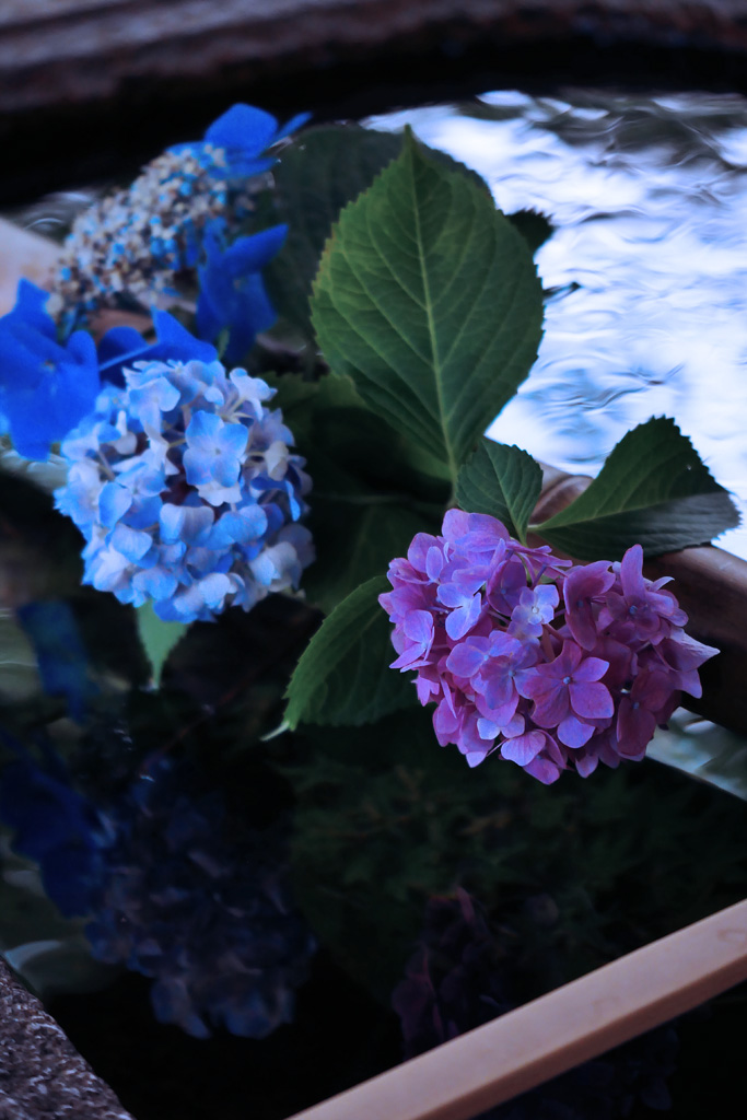 紫陽花 真如堂の写真素材