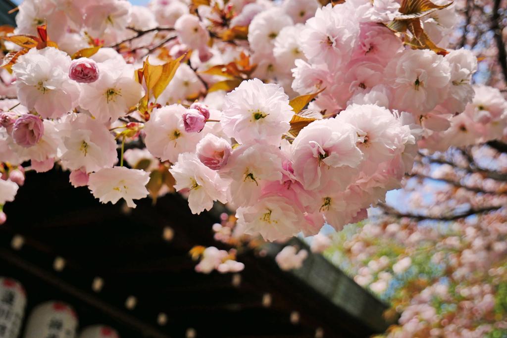 白峯神宮の桜の写真素材