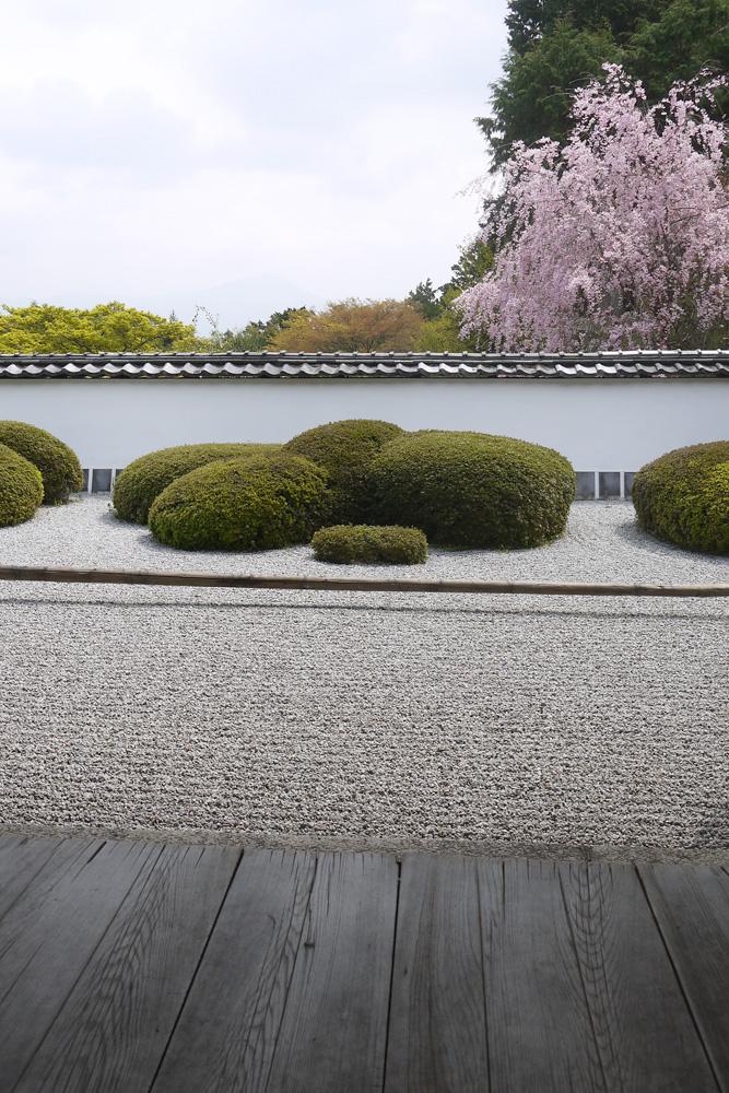 京都 正伝寺の枯山水庭園の桜