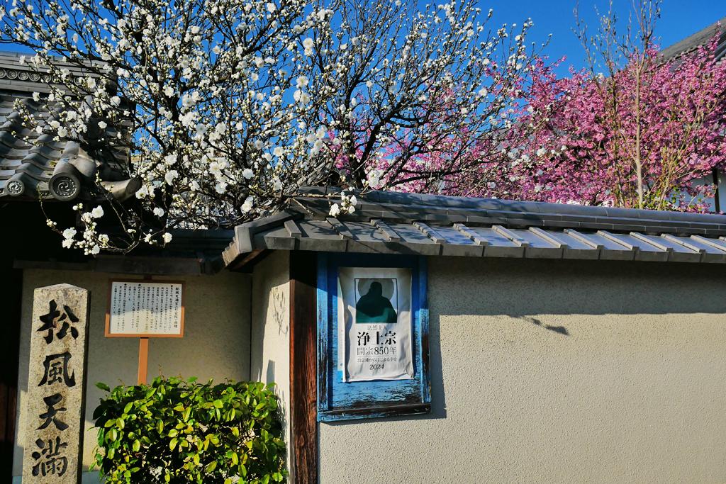 松風天満宮の桜の写真素材