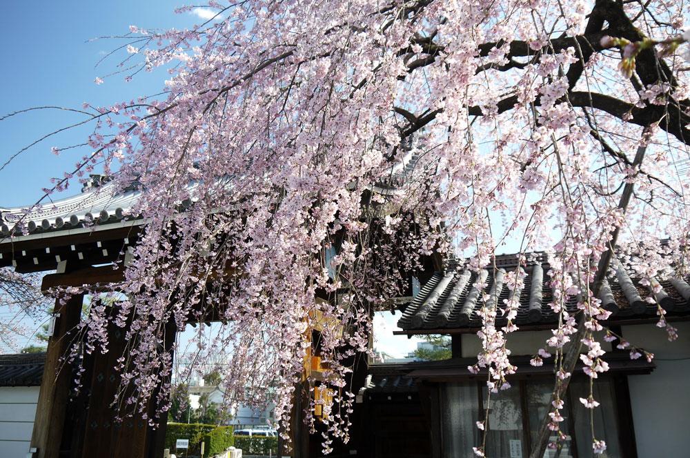 聖護院の桜 写真素材