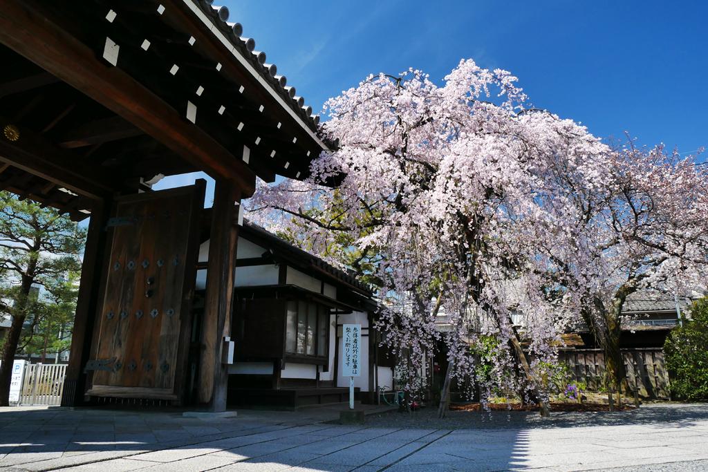 聖護院の桜の写真素材