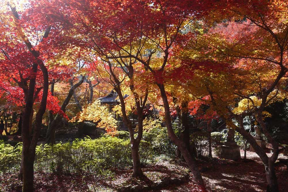 勝持寺(花の寺)の紅葉の写真素材
