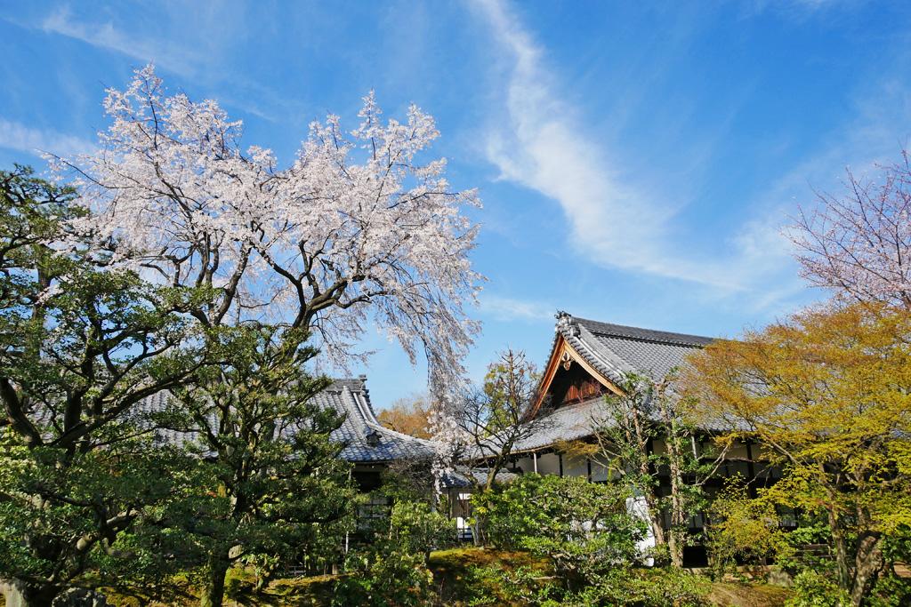 相国寺枯山水の桜の写真素材