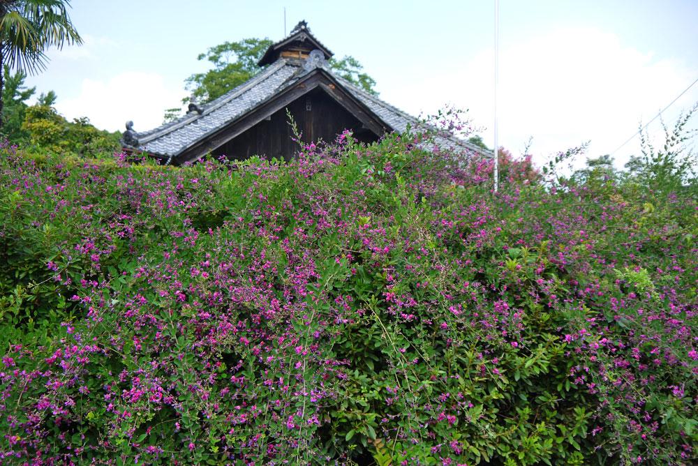 綾部 正暦寺の萩