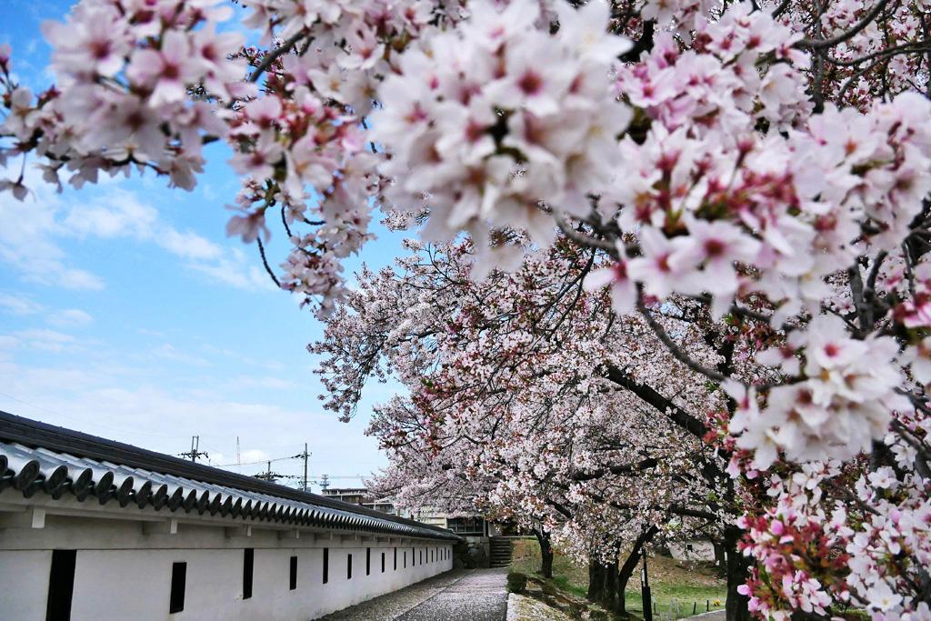 勝龍寺城の桜の写真素材