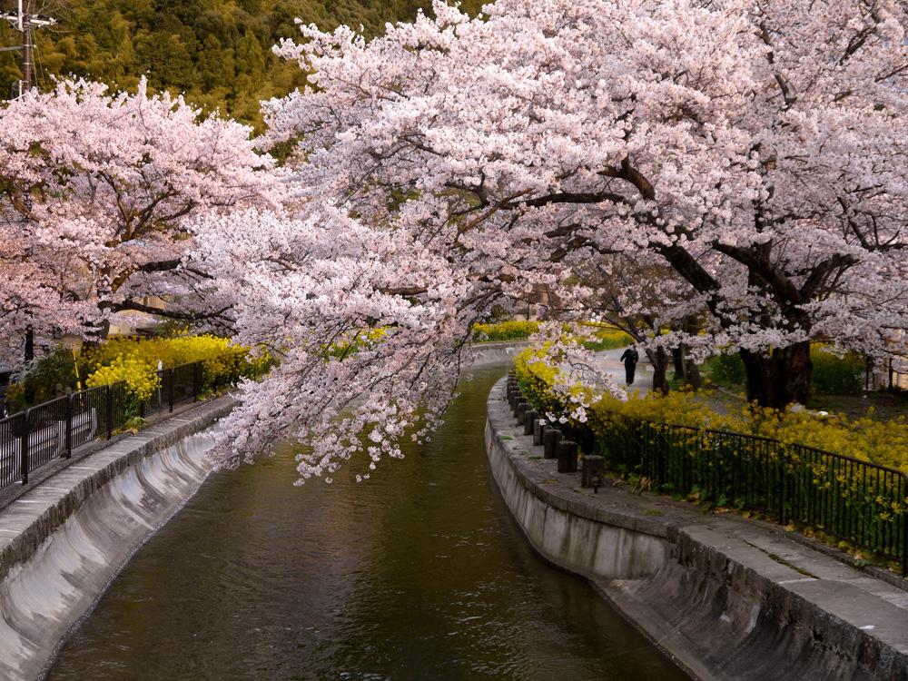 疏水 桜と菜の花の写真素材