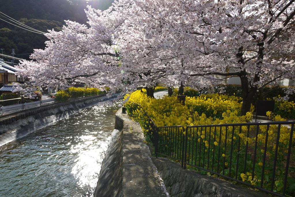 琵琶湖疏水の桜の写真素材