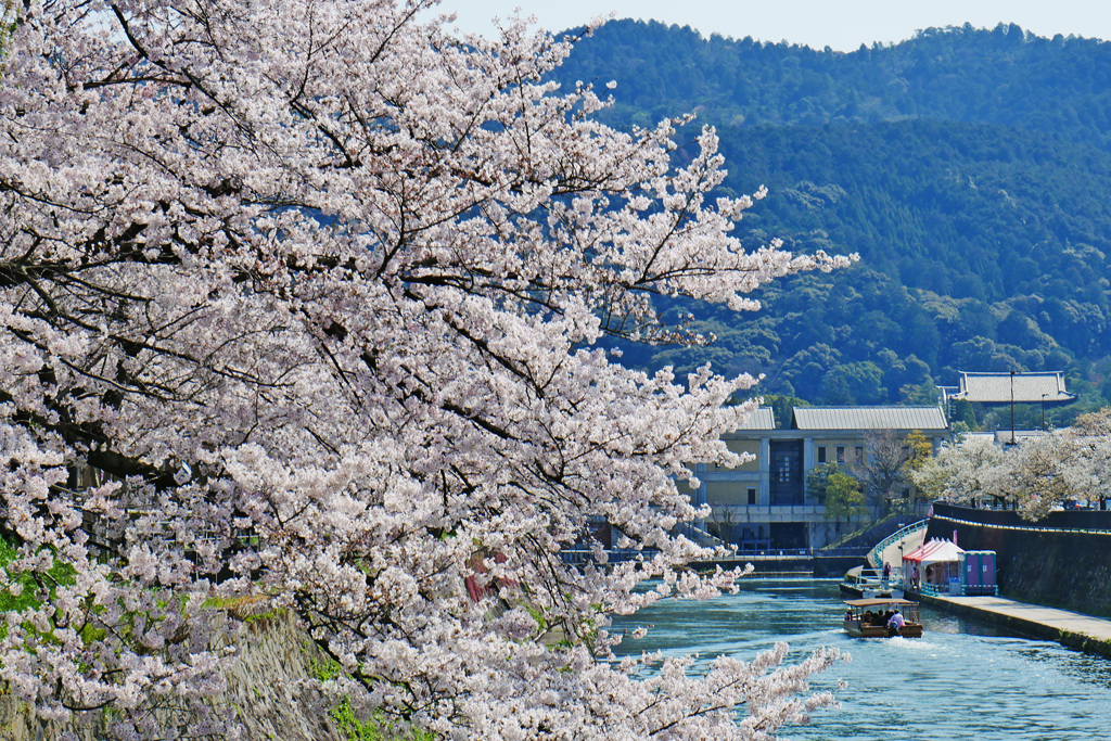 疏水 桜と十石船の写真素材