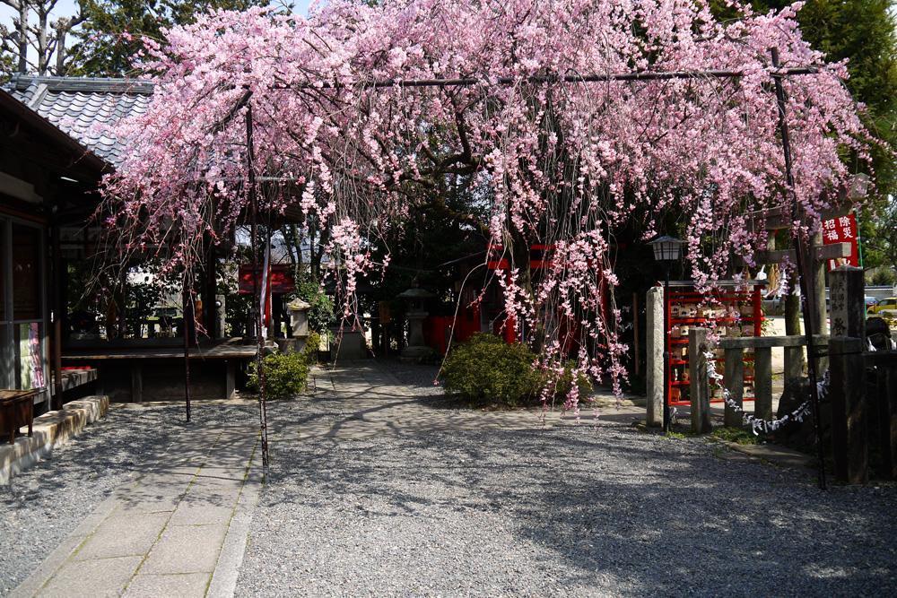 水火天満宮の桜の写真