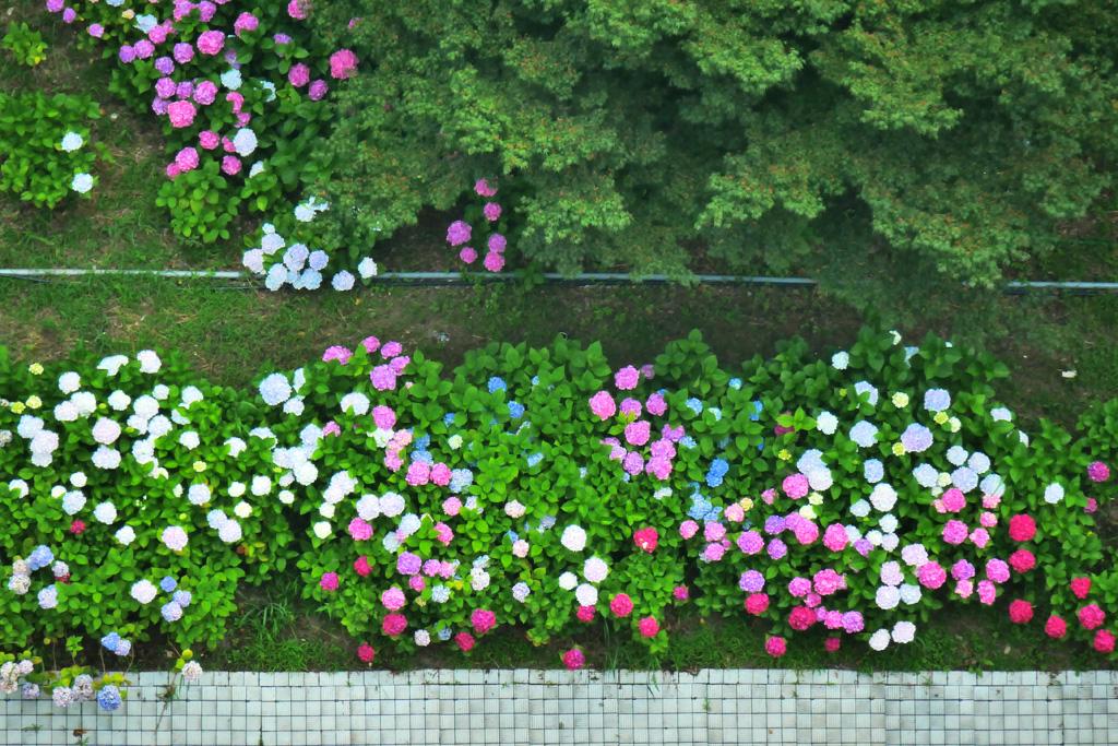 さすてな京都の紫陽花 写真素材