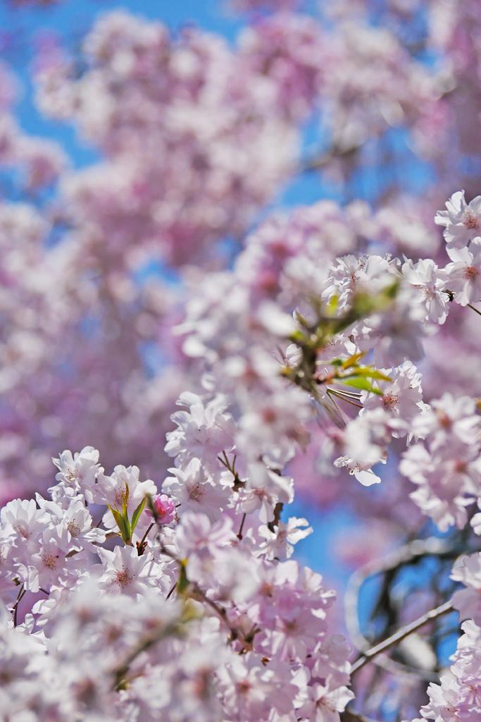 妙心寺退蔵院の桜の写真素材