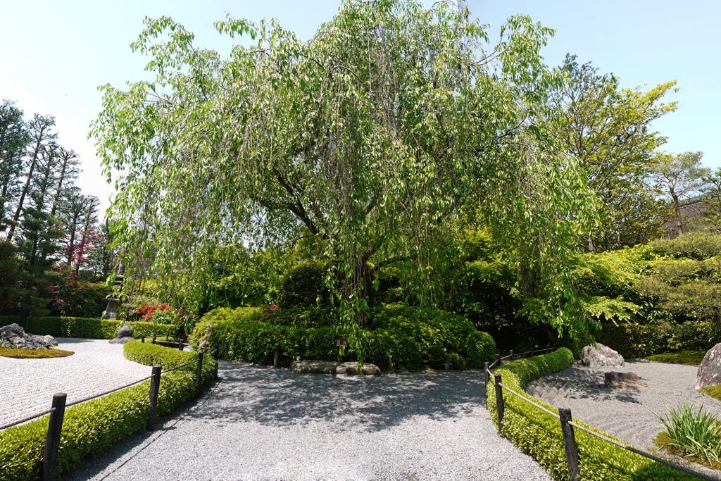 妙心寺退蔵院の新緑の写真素材