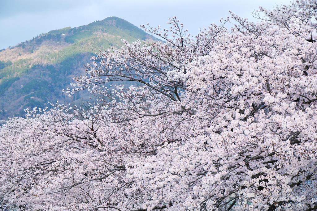 鴨川(高野川)と比叡山の桜写真素材
