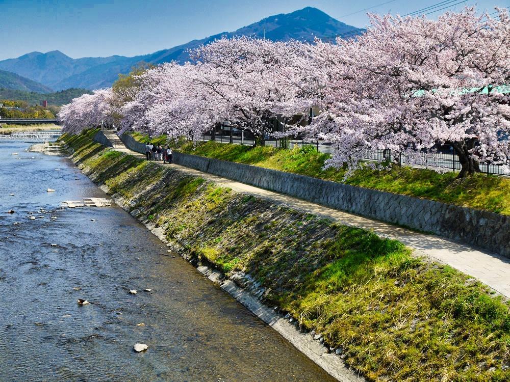 鴨川(高野川)の桜