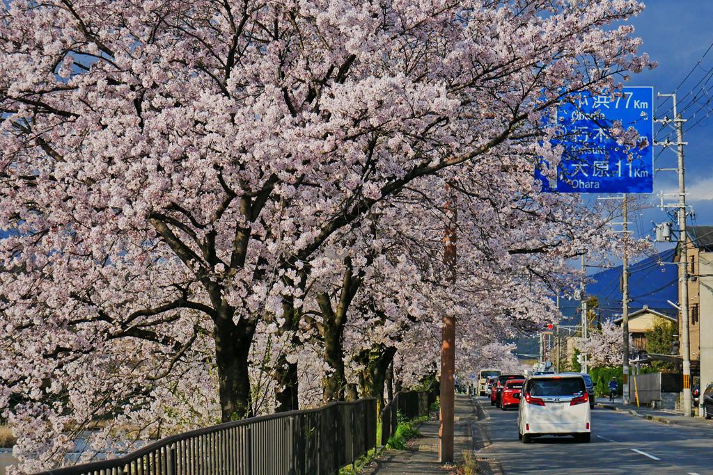 鴨川(高野川)の桜写真素材