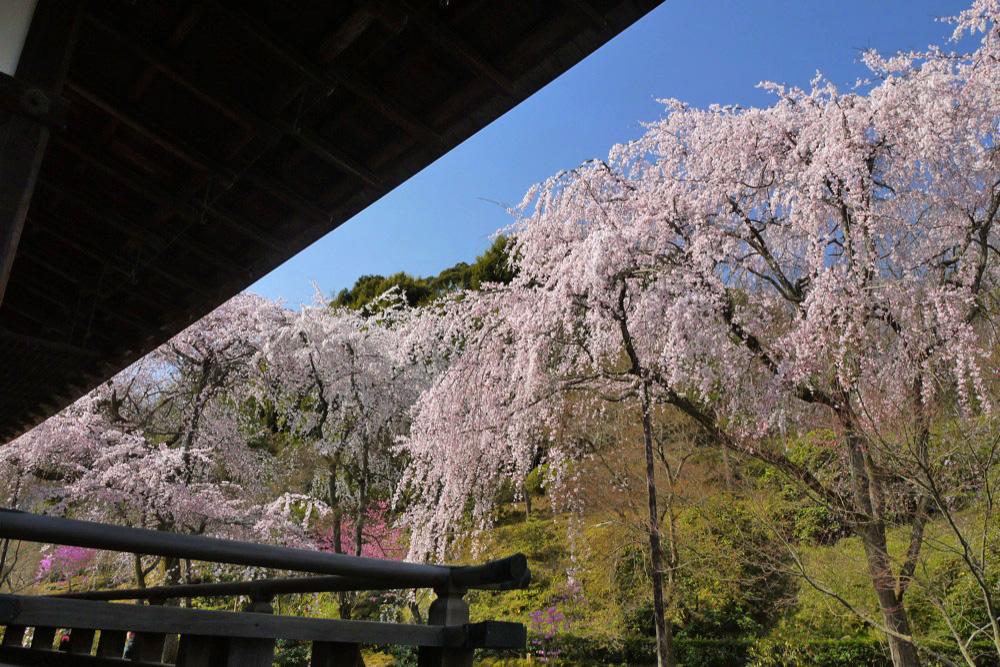 天龍寺の桜の写真素材