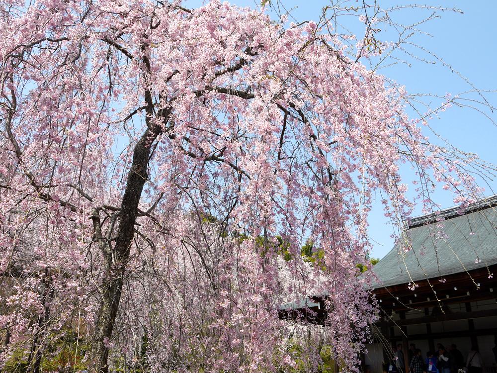 天龍寺の枝垂桜の写真素材