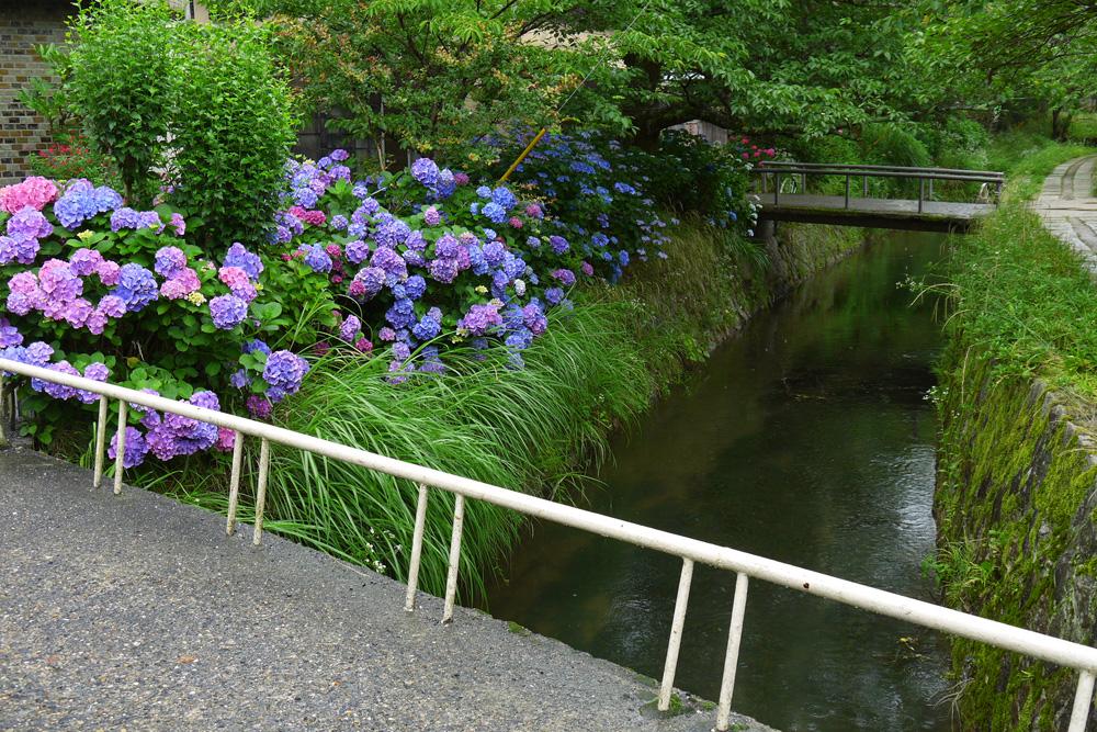 哲学の道・紫陽花