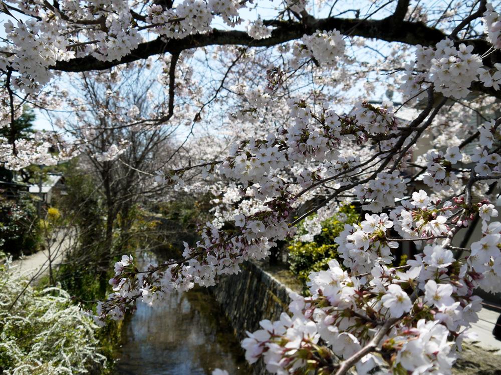 哲学の道の桜の写真