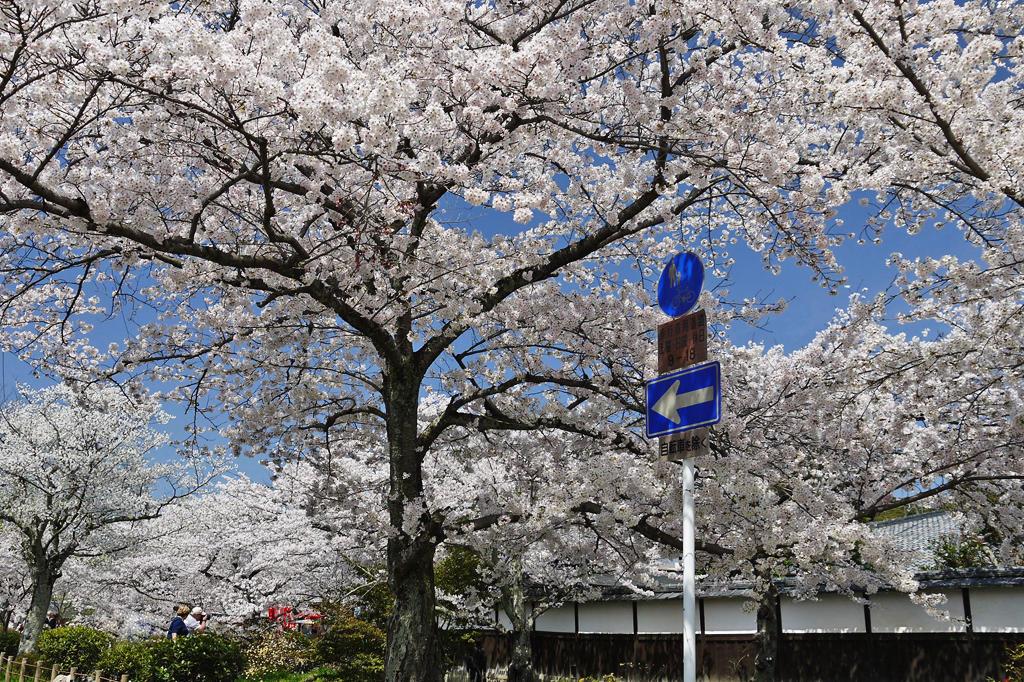 哲学の道の桜の写真素材