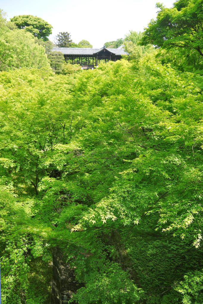 東福寺の青もみじの写真素材