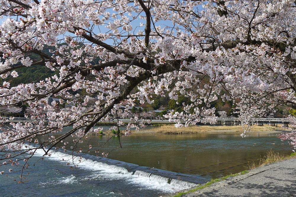 嵐山渡月橋の桜の写真素材