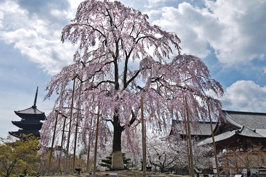 東寺の五重塔と枝垂れ桜の写真素材