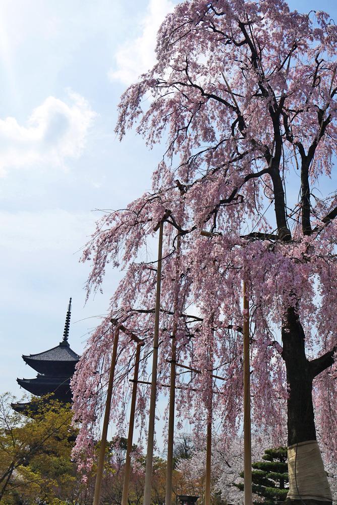 東寺の桜の写真素材