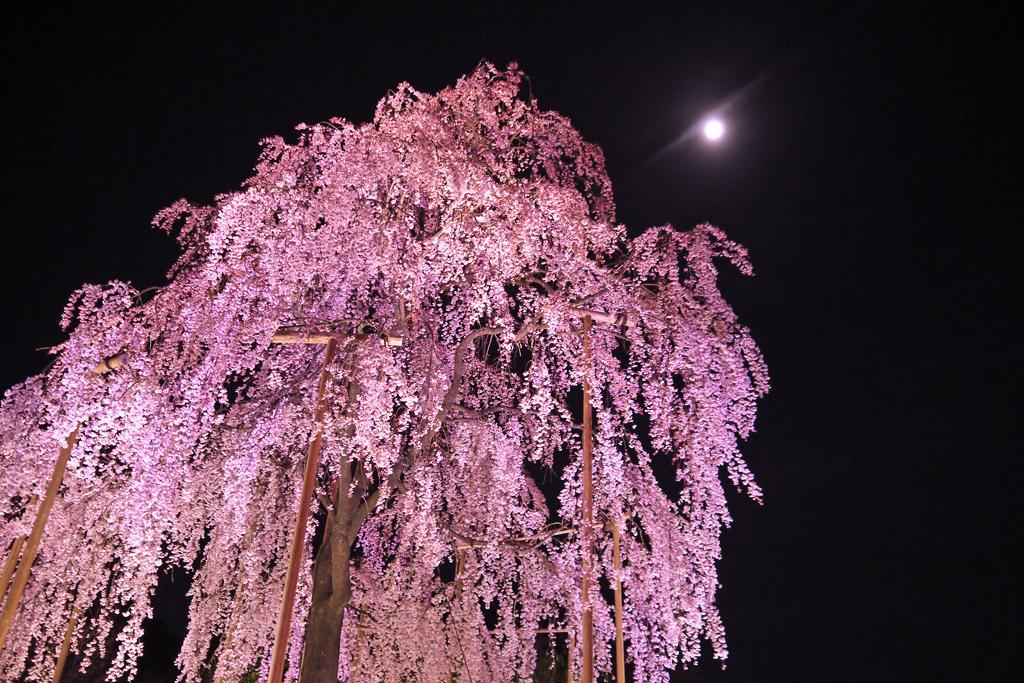 東寺の枝垂桜と月の写真素材