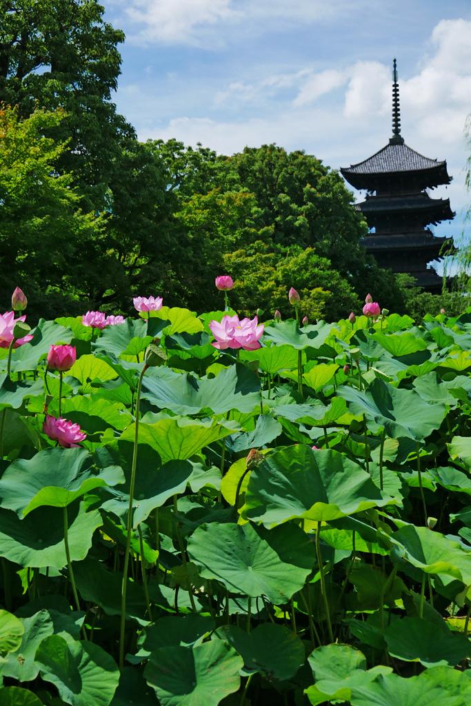 東寺のハスの写真素材