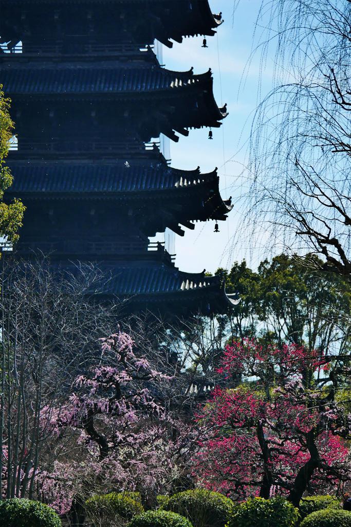 東寺の梅の写真素材
